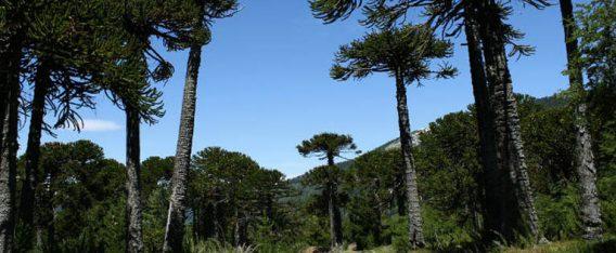 Reserva Nacional Malalcahuello es una de las 5 rutas de bicicleta en Chile