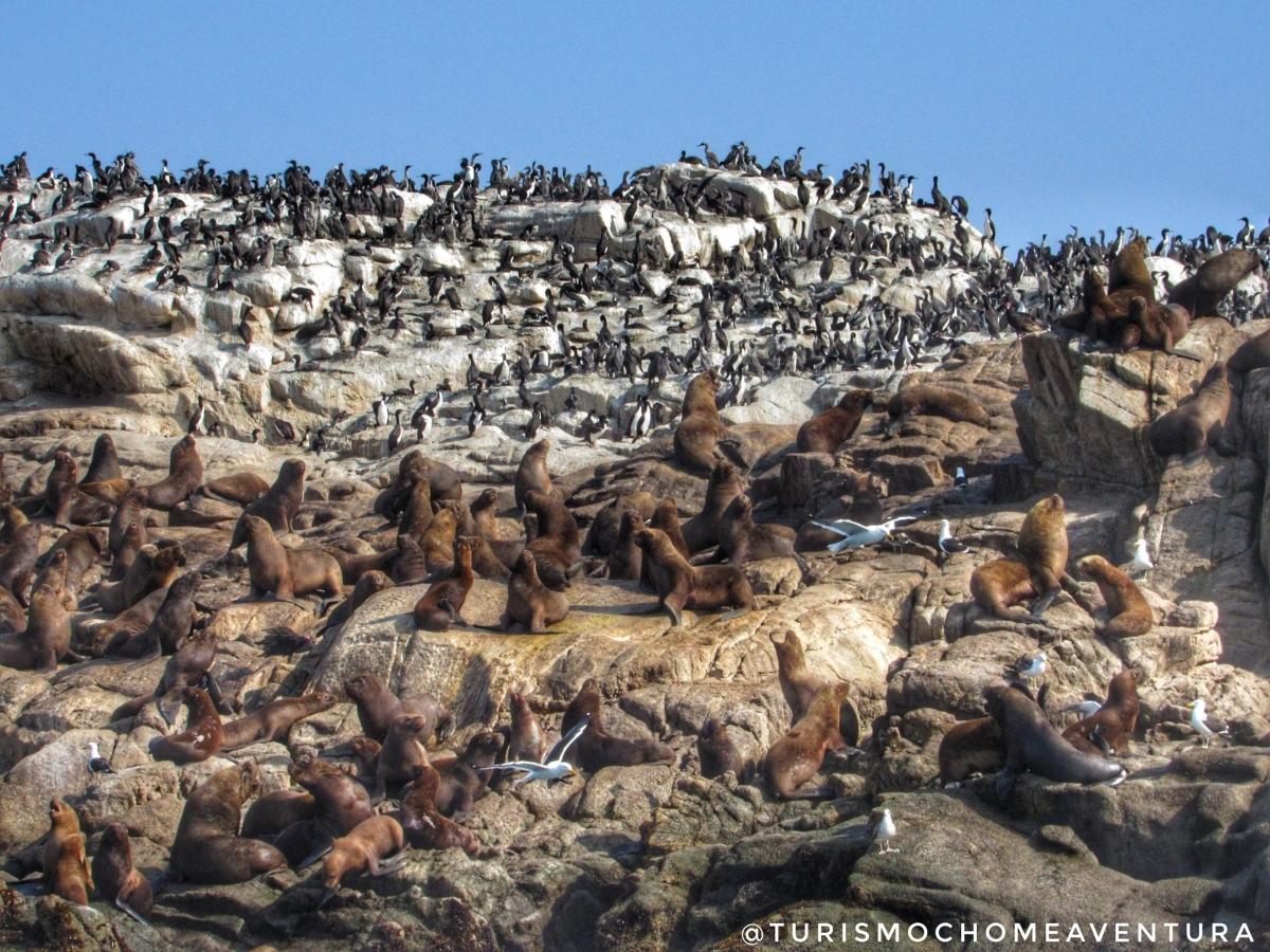 Imagen de lobos marinos en Caleta Chome