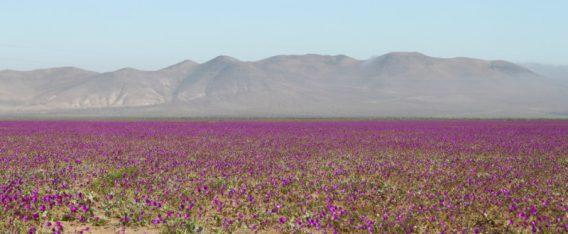 Desierto Vivo en Copiapó