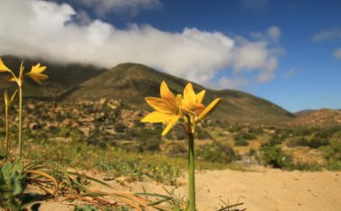 imagen de una flor del desierto florido