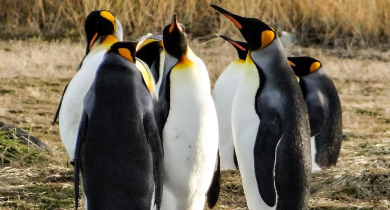 En la Isla Tierra del Fuego encontrarás hermosas especies del pingüino rey.