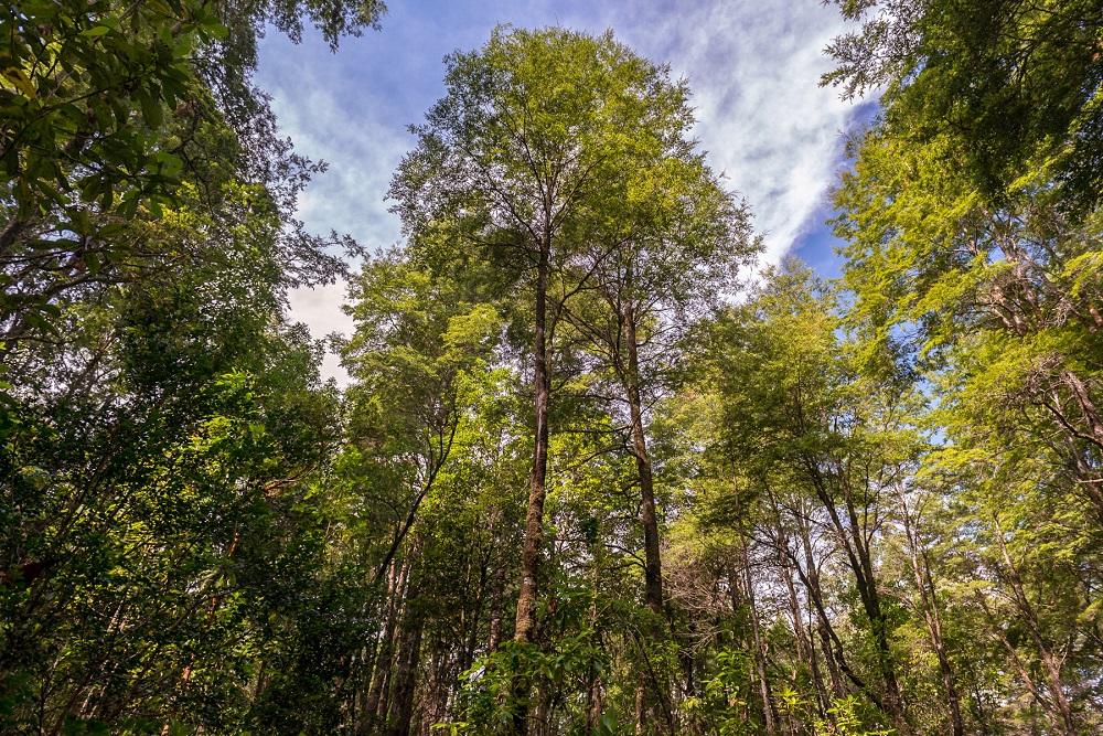 7 días en la Araucanía andina para conocer los bosques nativos