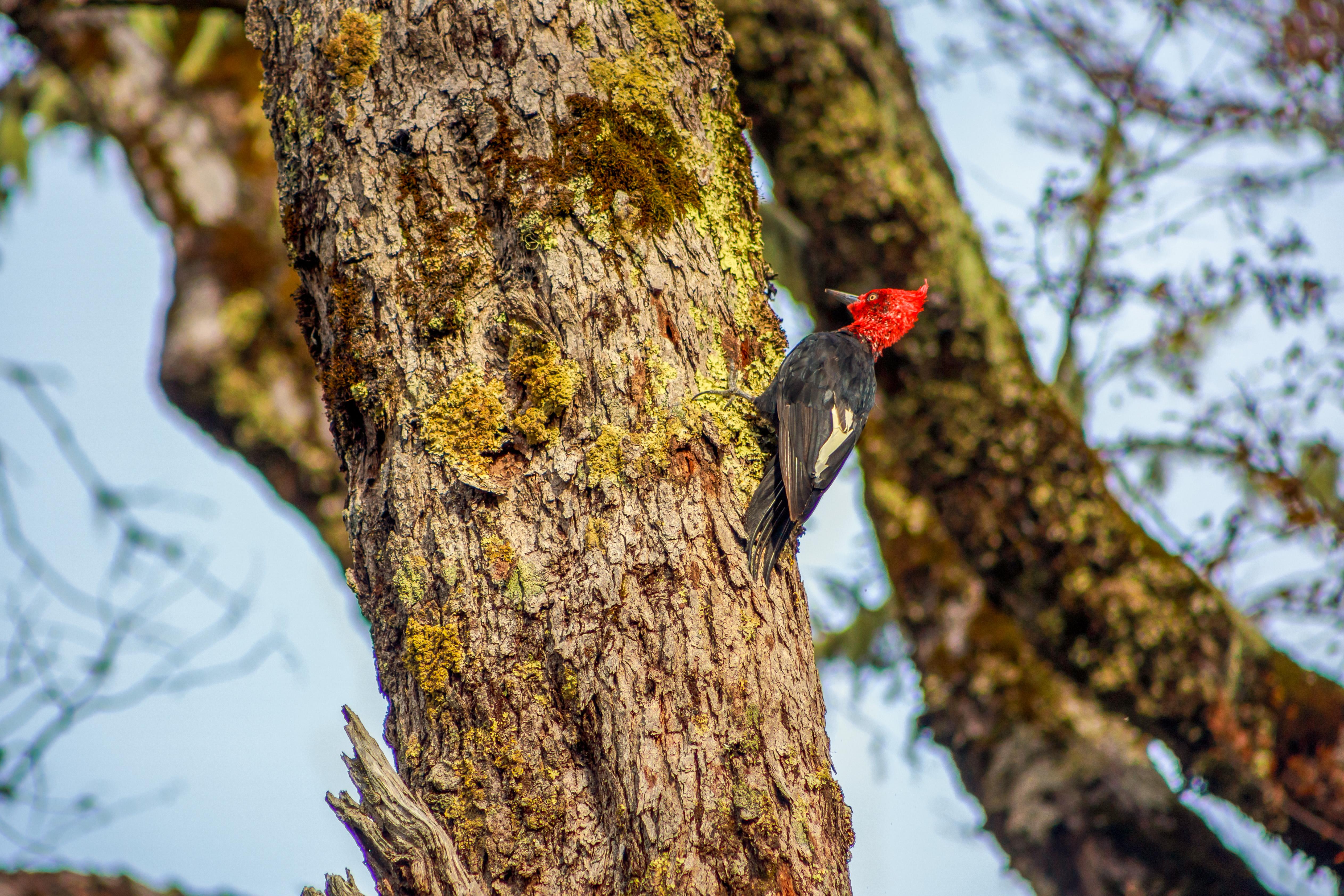 Carpintero en Conguillío. Avistamiento de aves en 7 días en la Araucanía.