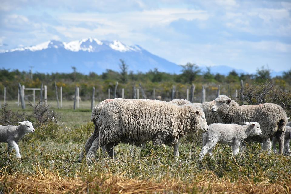 Esquila de ovejas en las Estancias de la Patagonia