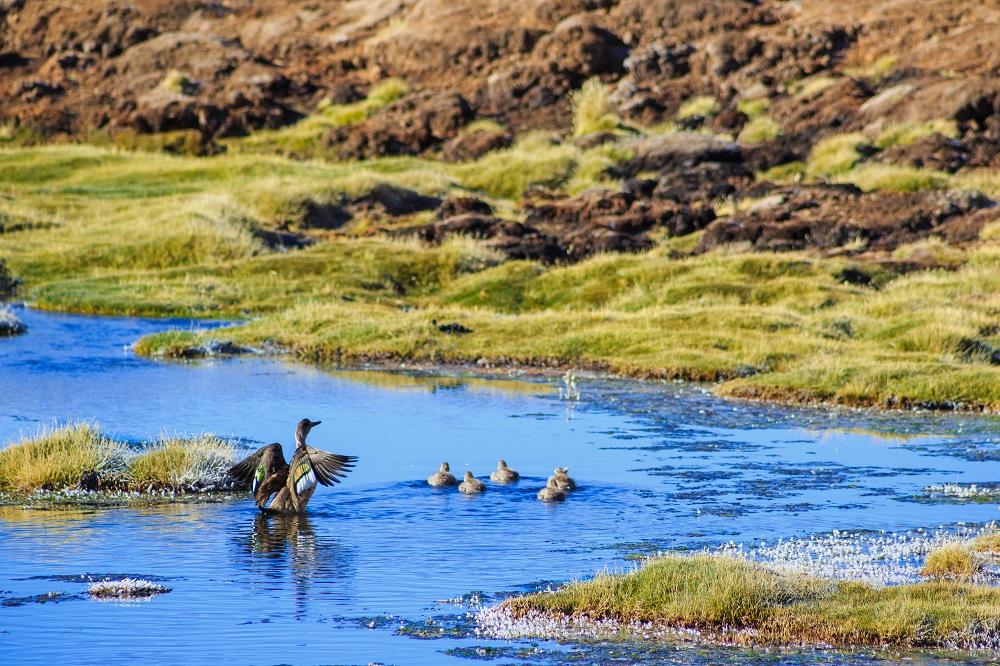 Fauna en la Reserva Nacional Lauca