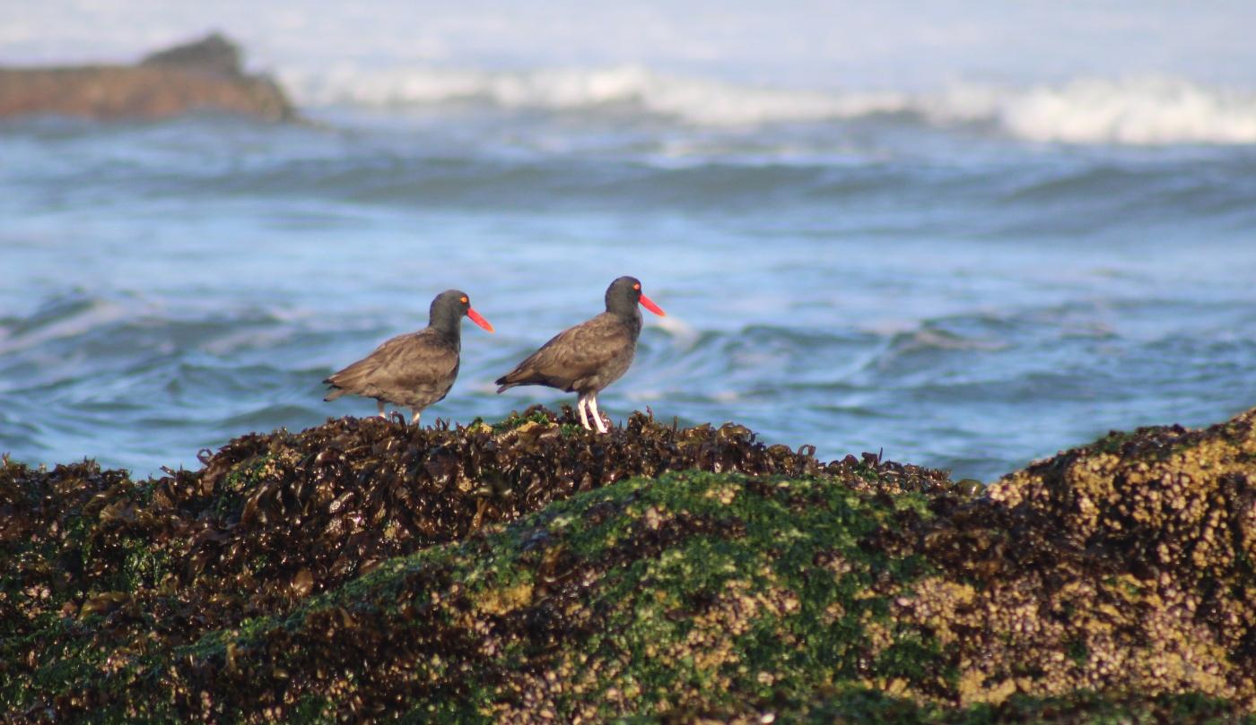 Imagen de aves migratorias en las playas de Quintero
