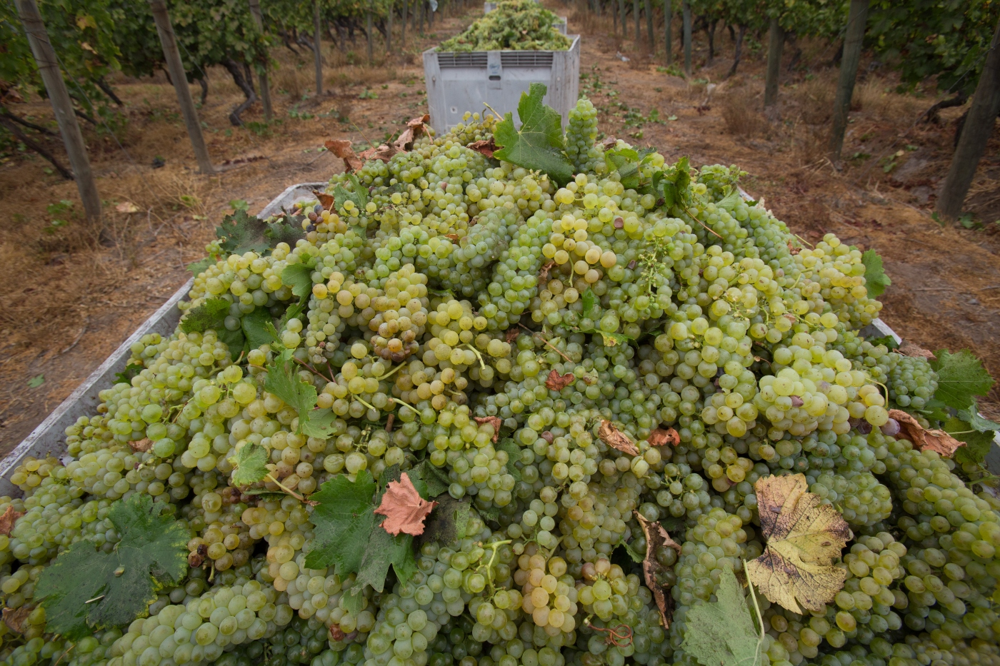 Imagen de una caja lleno de racimos de uva verde recién cosechada