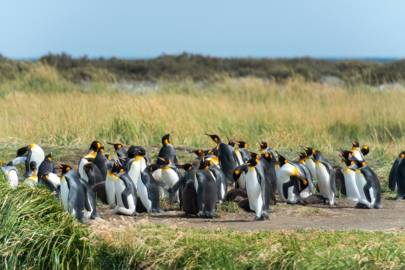 Imagen de un grupo de Pinguinos Rey