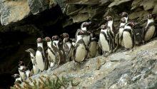 Imagen de Chañaral - Reserva Nacional Pingüinos de Humboldt