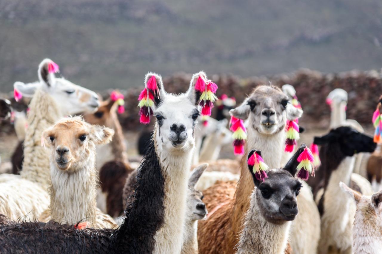 Imagen de un grupo de llamas y alpacas con pompones andinos en su pelaje