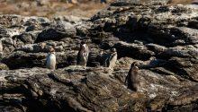 Reserva-Nacional-Pingüino-de-Humboldt