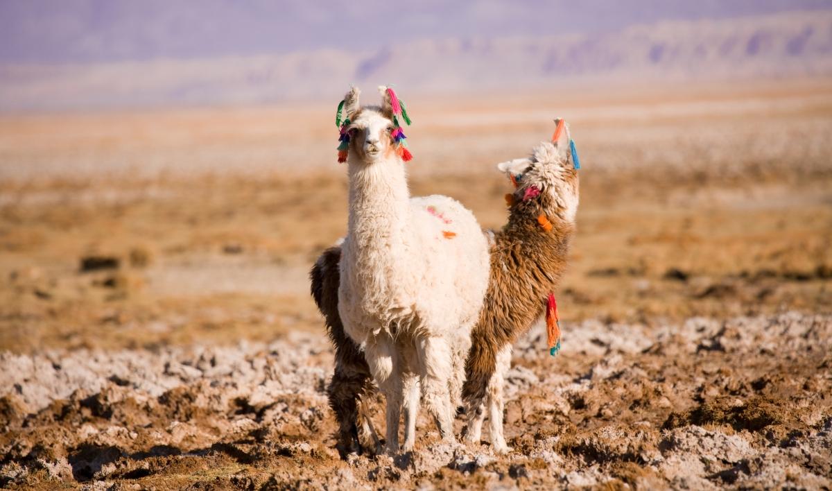 imagen de llamas en el altiplano con adornos de la cultura atacameña