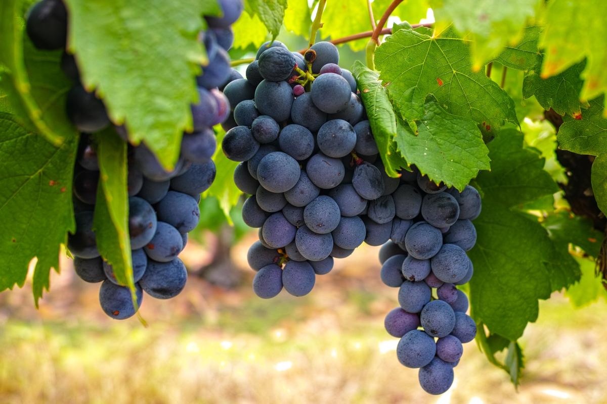 Imagen de unas hermosas uvas oscuras