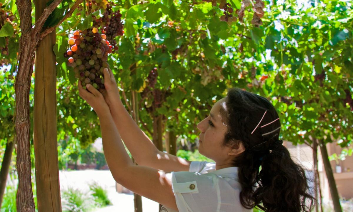 Imagen de una mujer cosechando uva en los valles pisqueros