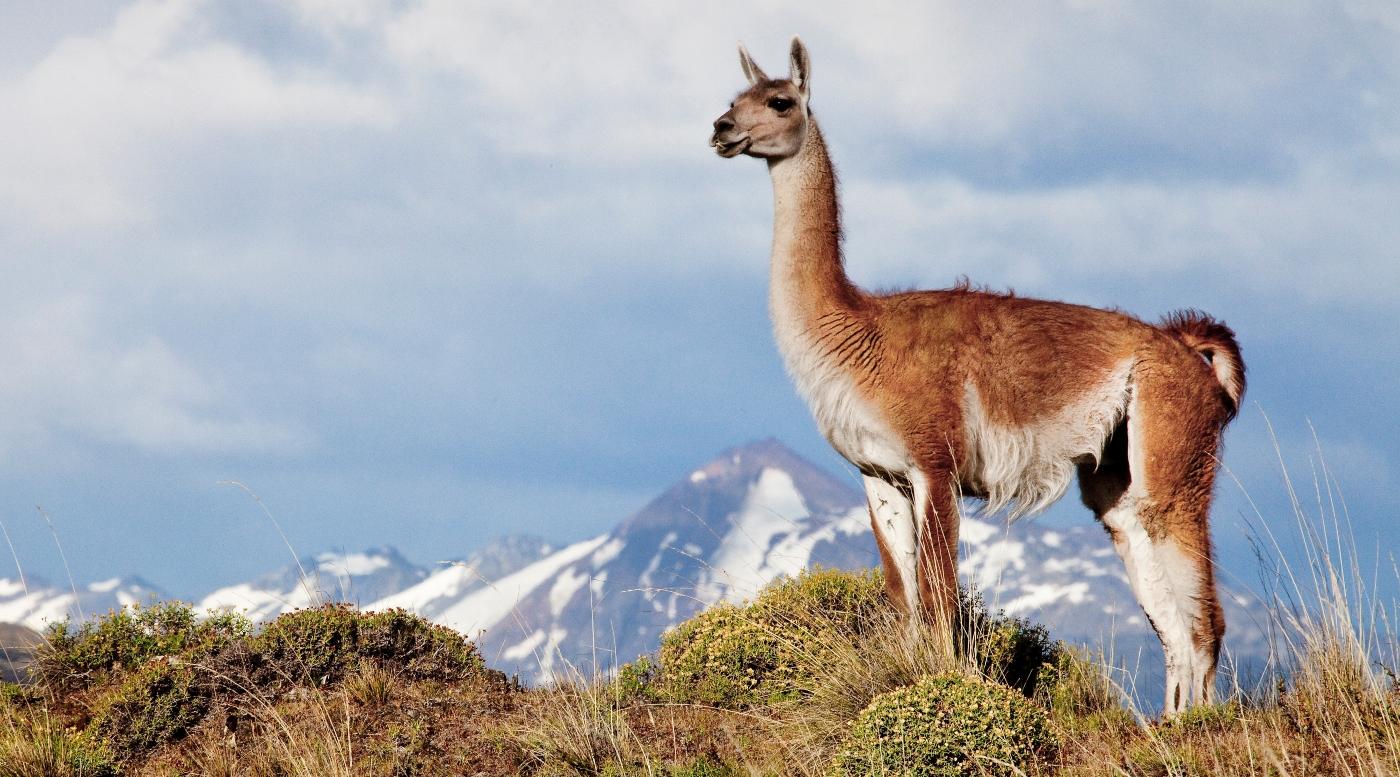 Imagen de una vicula en el Parque Nacional Patagonia