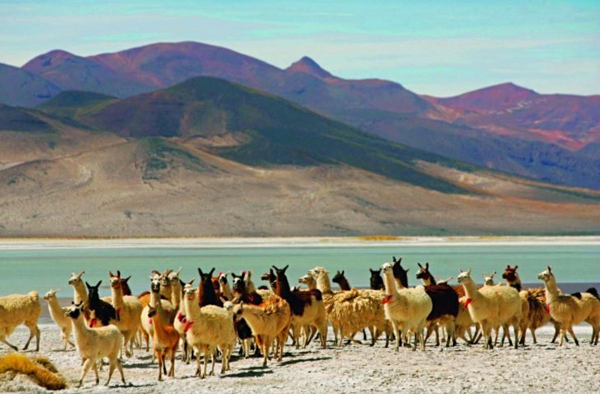 Imagen de llamar y vicuñas en el Parque Nacional Salar de Huasco