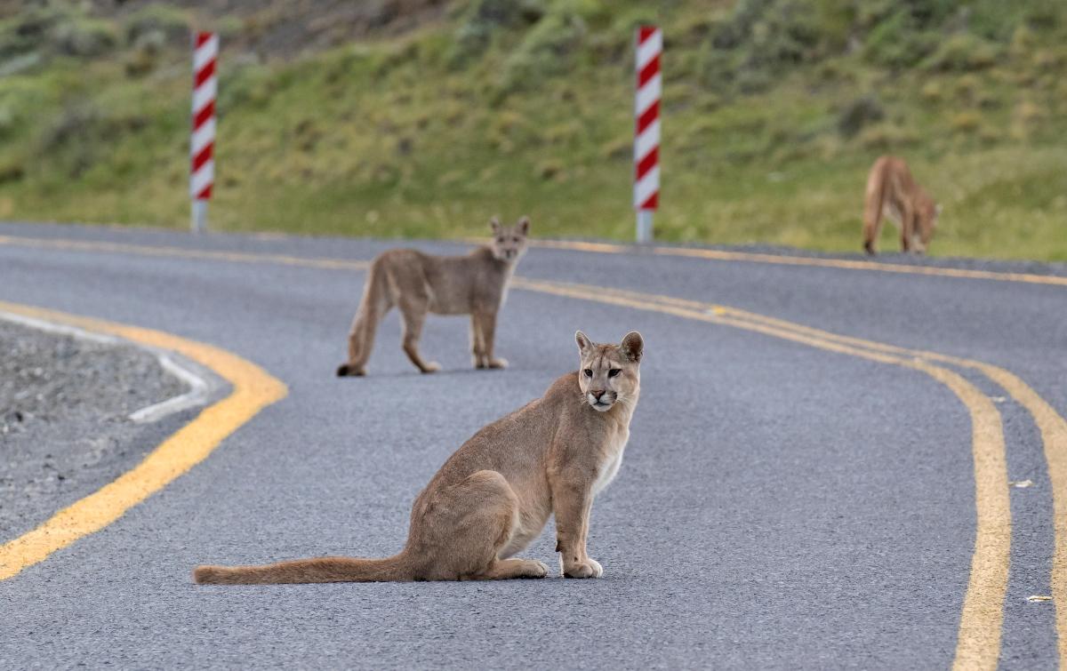 Imagen de pumas caminando por la carretera