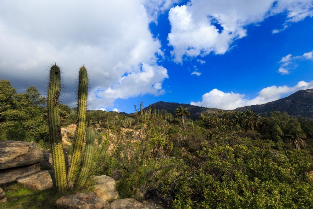 bosques de Chile-imagen de un cactus en un parque nacional