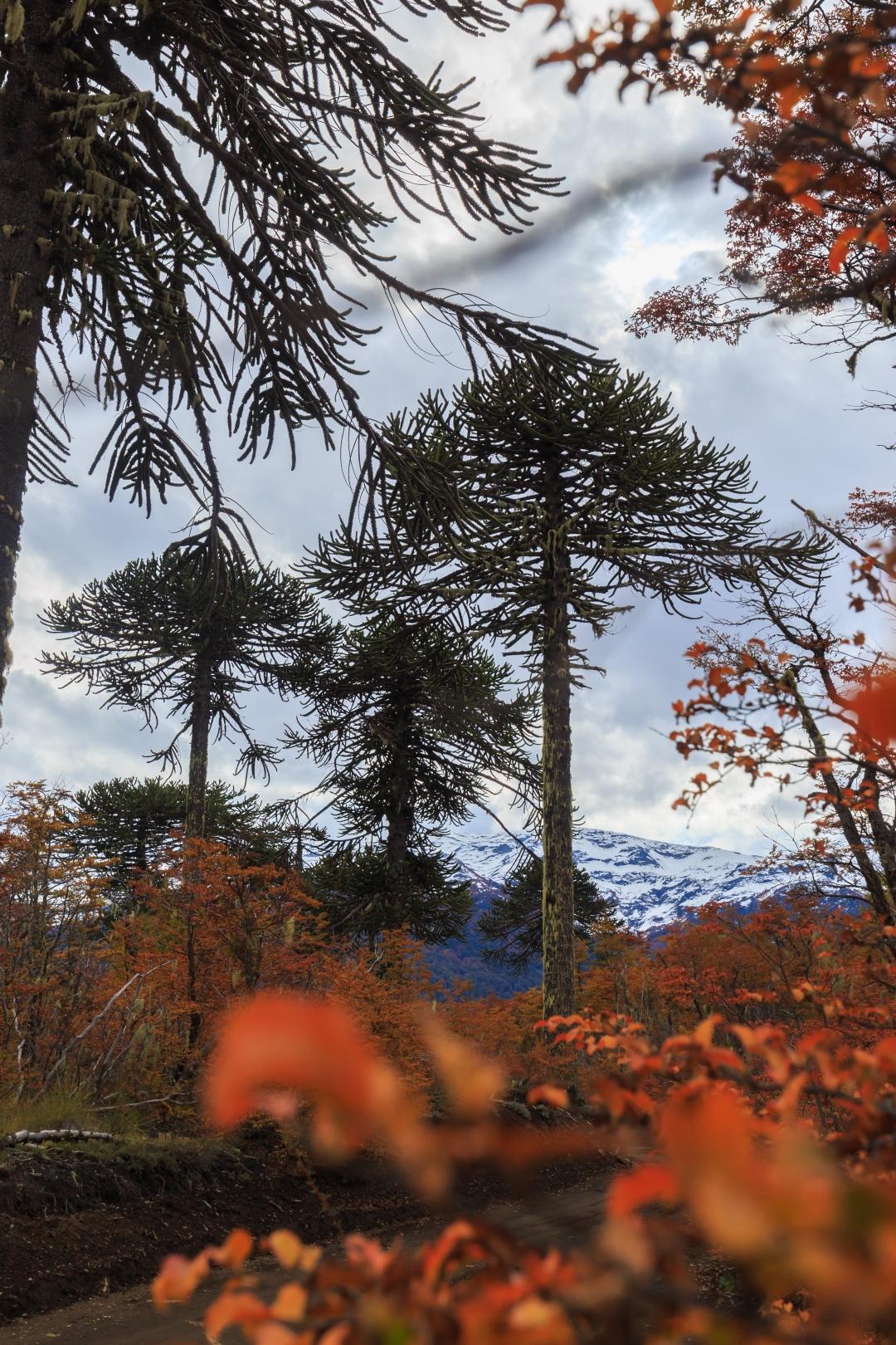 Bosques de Chile- araucarias milenarias en Conguillio
