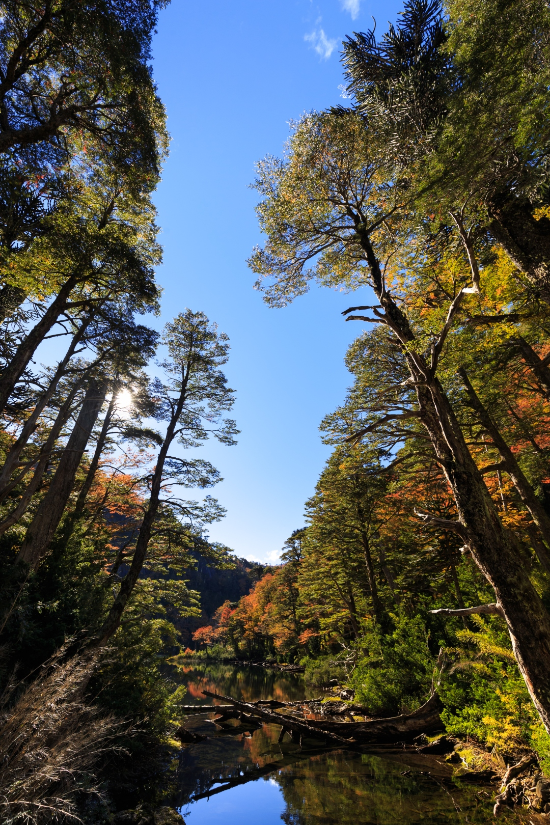 Bosques de Chile- imagen de los imponentes árboles del Parque Nacional Huerquehue