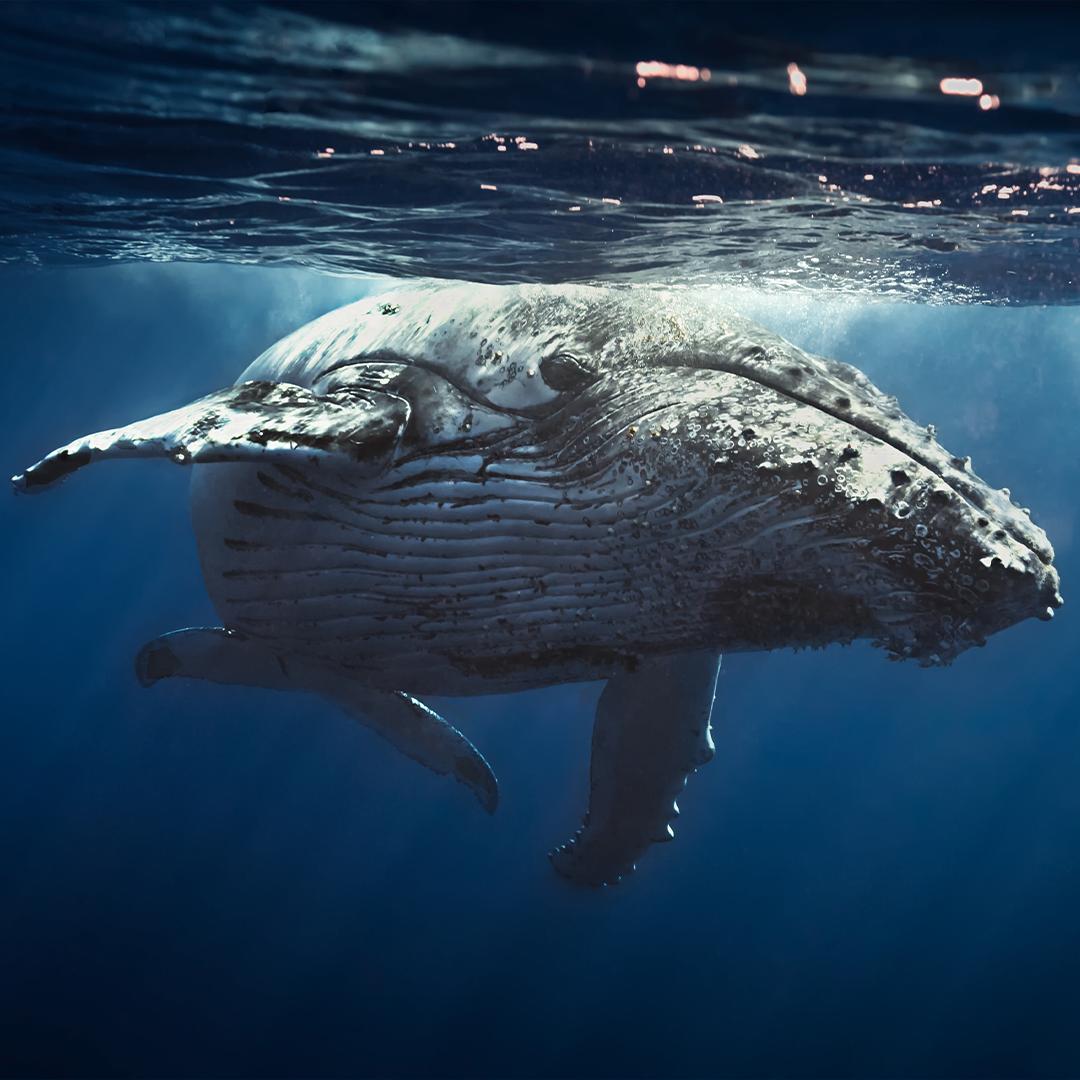 Avistamiento de cetáceos en Chile- Ballena Azul