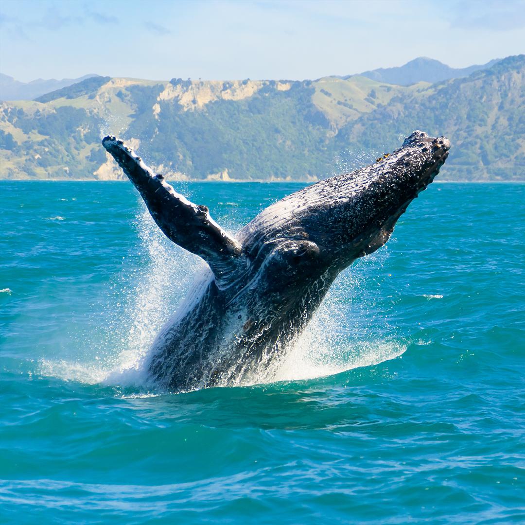 Cetáceos en Chile-Ballena Jorobada