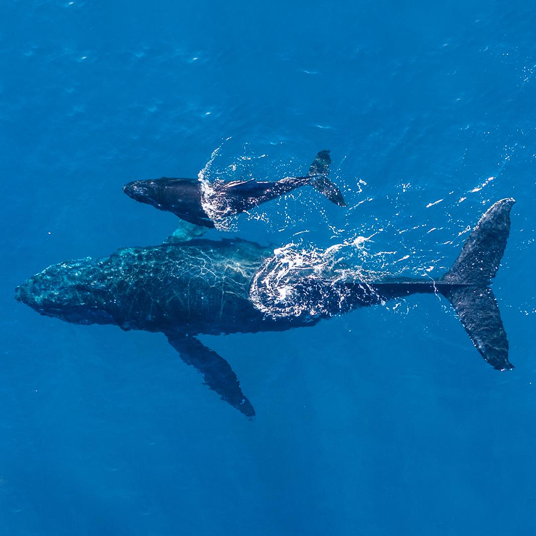 Cetáceos en Chile- imagen de dos cachalotes en el mar
