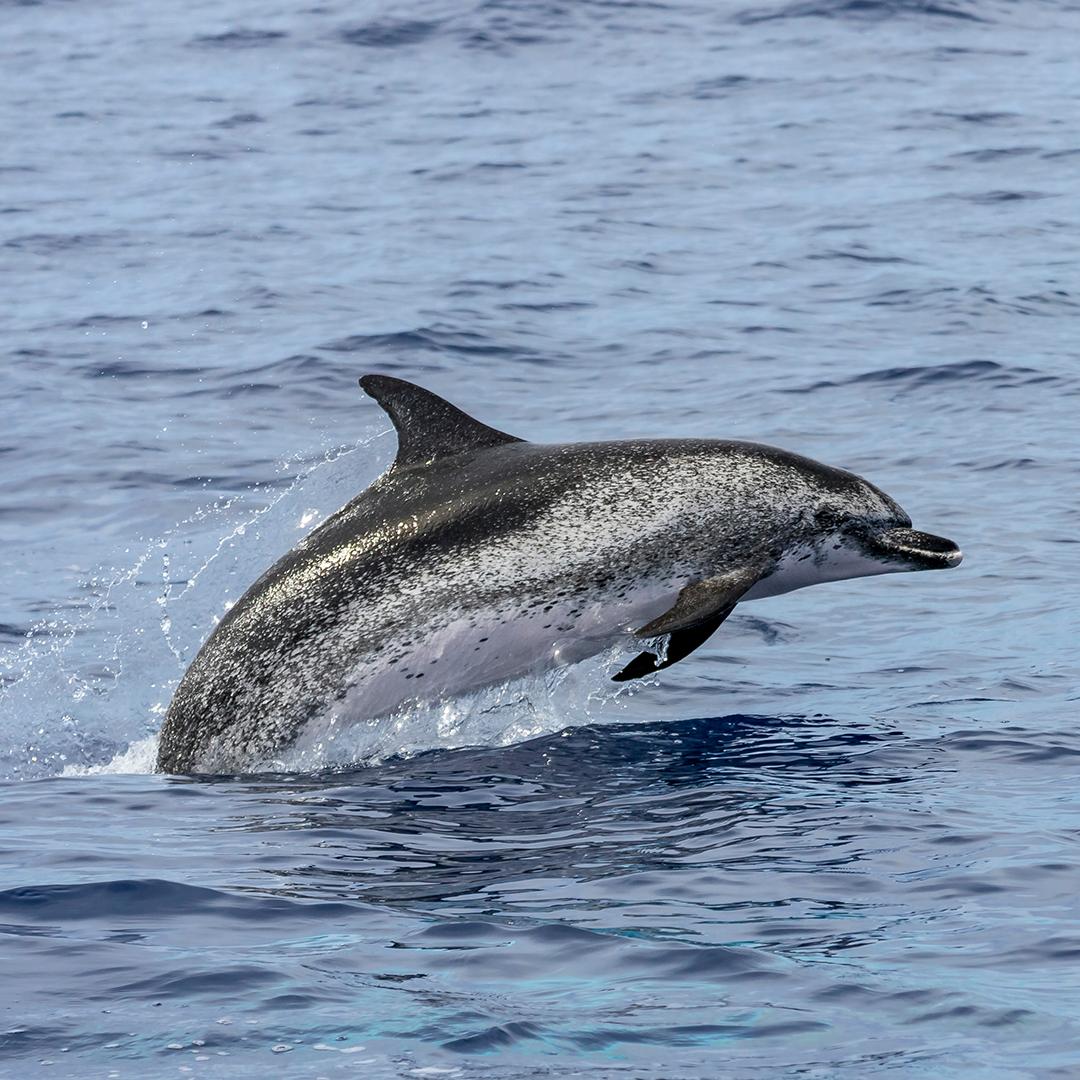 Cetáceos en Chile - Delfín nariz de botella