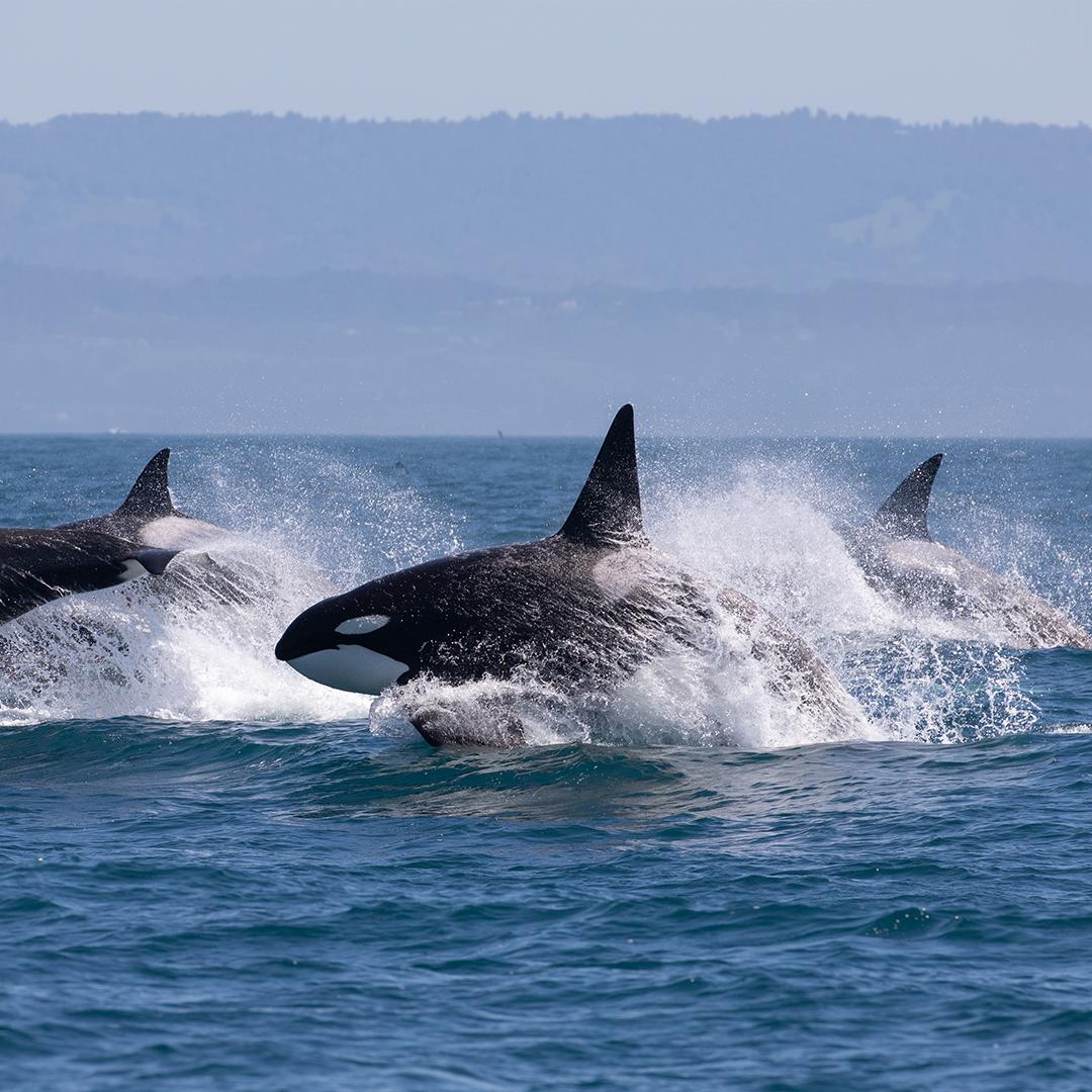 Cetáceos Chile-Orcas