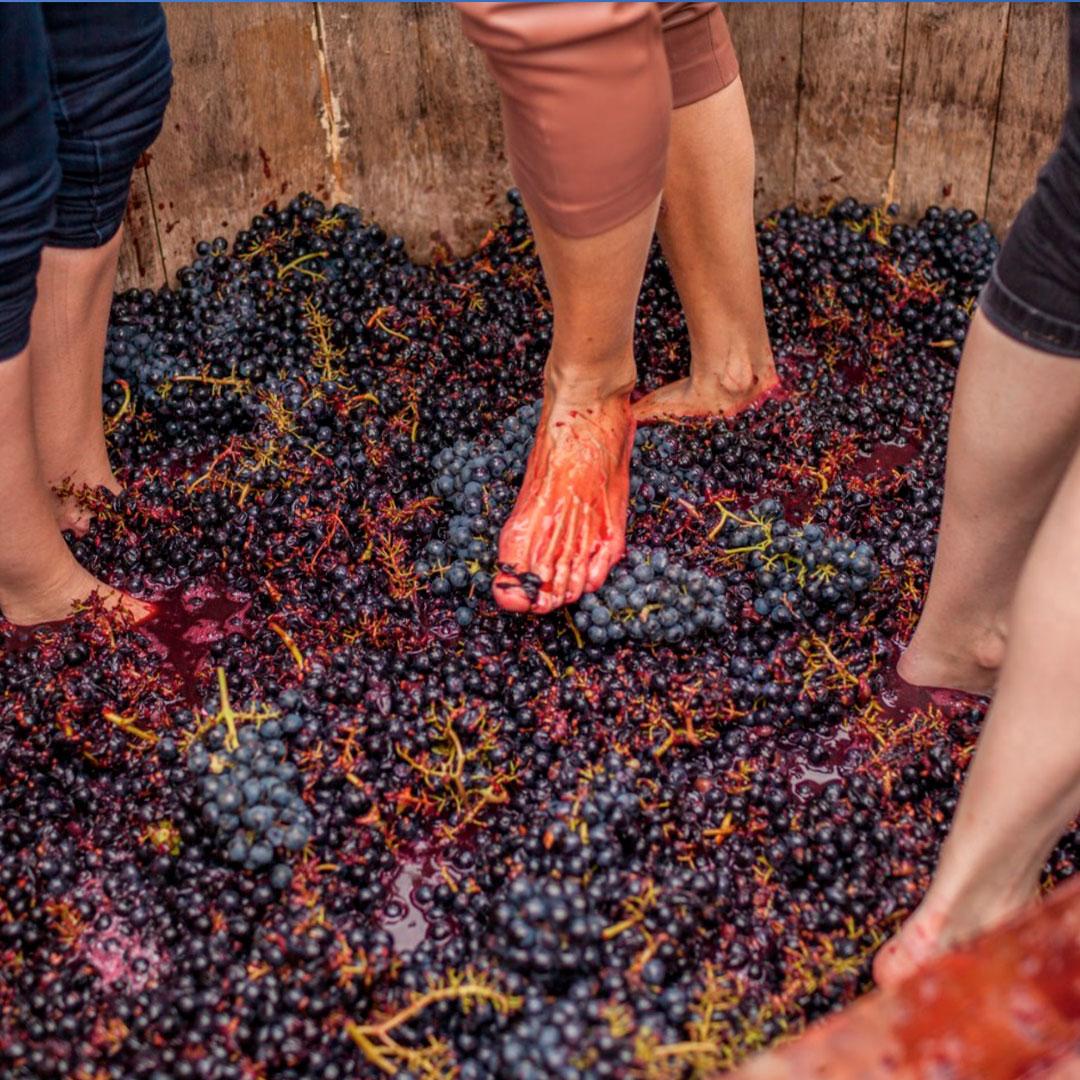 Fiesta de la vendimia: pisada de uva