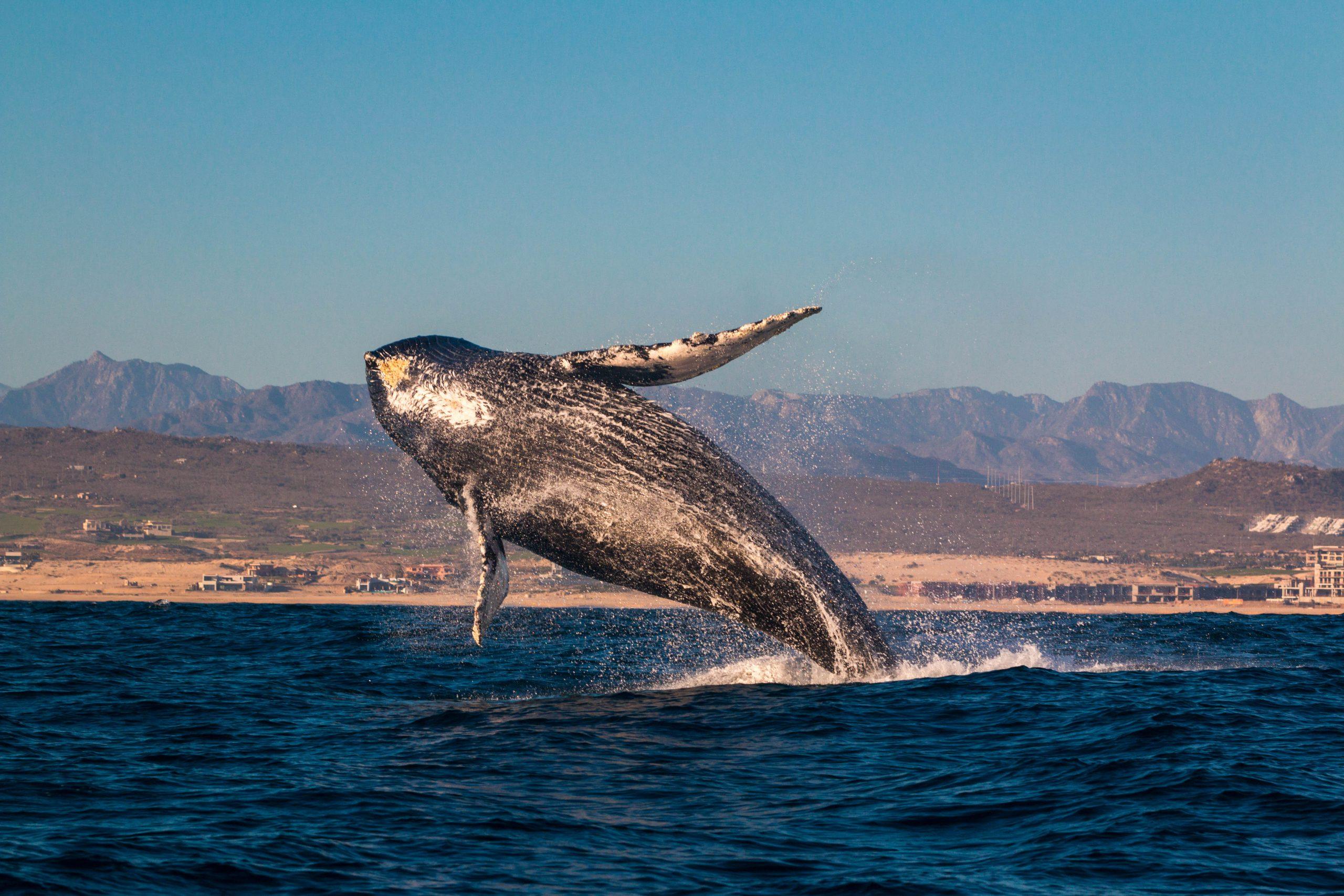 Cetáceos en Chile- imagen de una ballena voladora en Chile.