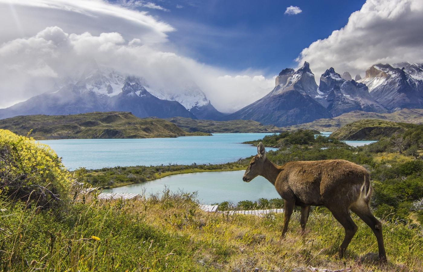 Huemul en la patagonia chilena
