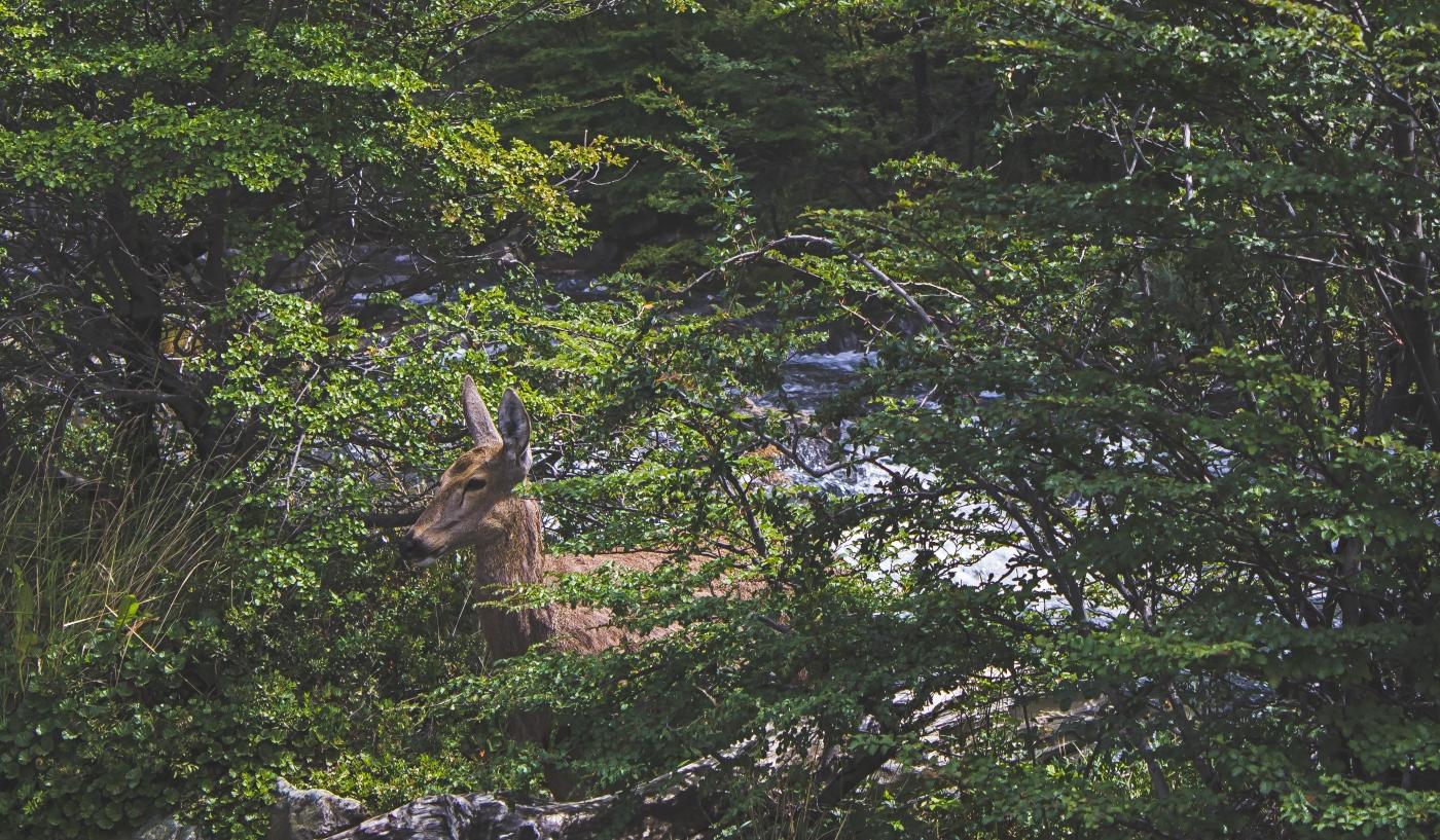 Un huemul en medio de la naturaleza de los bosques chilenos