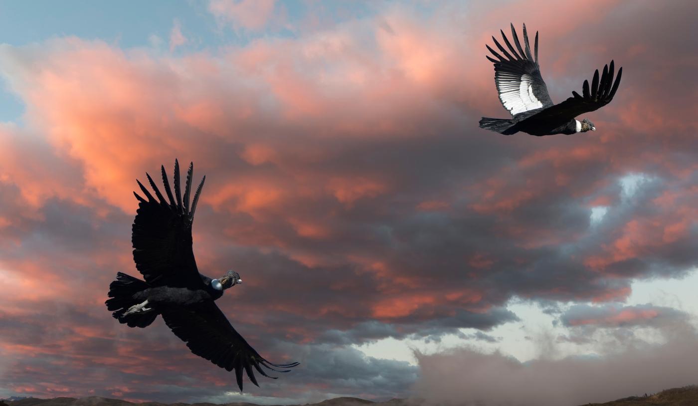 Condor volando por la zona central de Chile