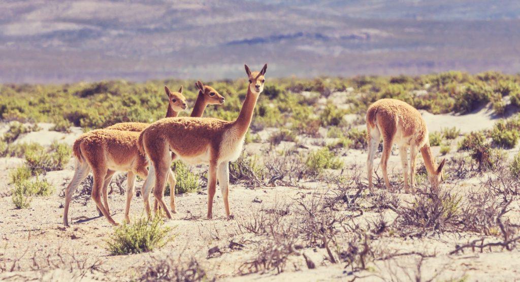 familia de guanacos en Chile