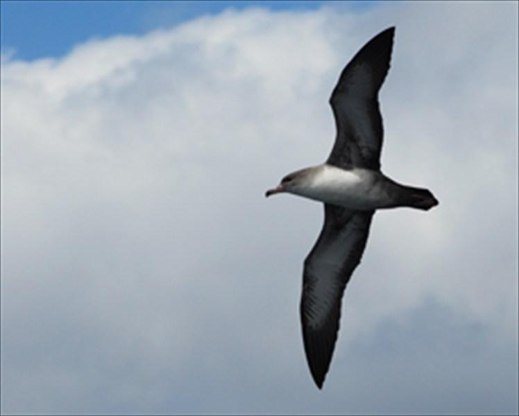 Fardela blanca, ave de Isla Mocha
