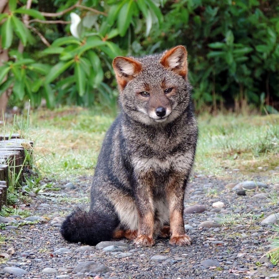 Zorro chilote - especie endémica del sur de Chile
